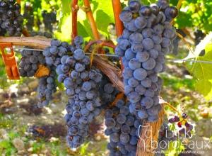 6-chateau-la-conseillante-grapes-vineyard